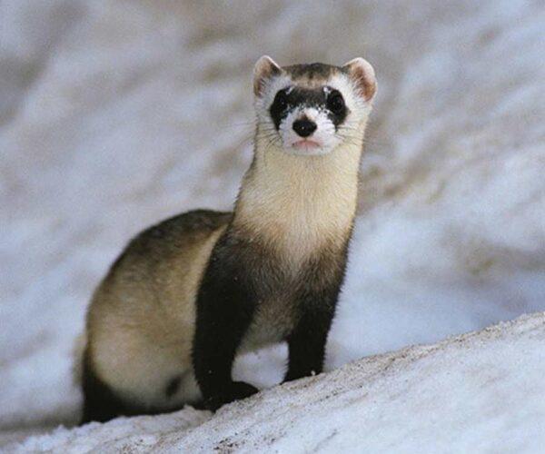 Bornean Ferret-Badger – Profile | Traits | Facts | Description