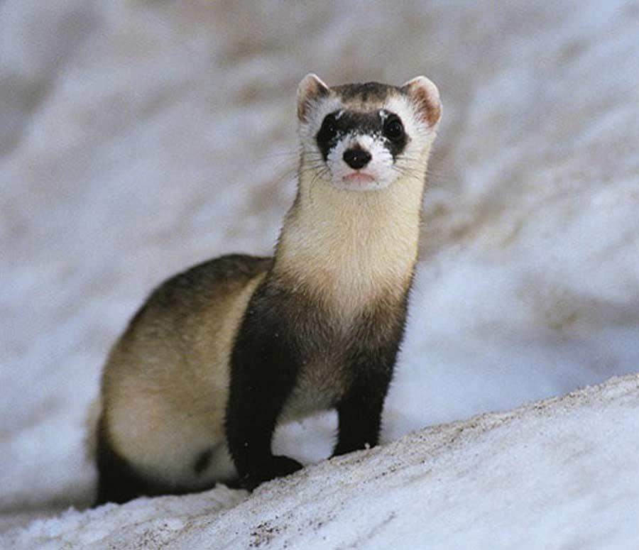 Bornean Ferret-Badger – Profile   Traits   Facts   Description