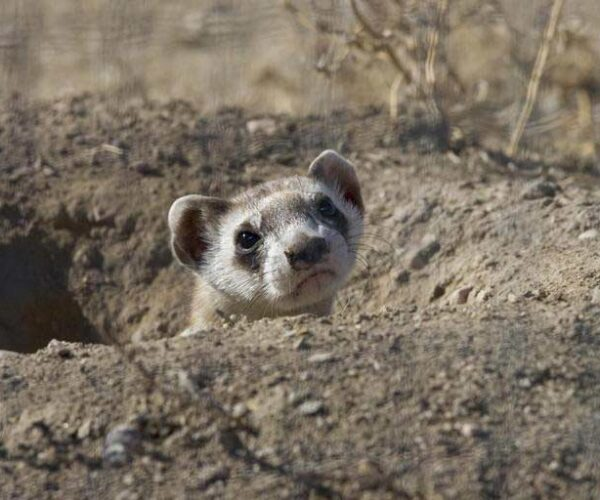 Burmese Ferret-Badger – Profile | Behavior | Traits | Facts | Range