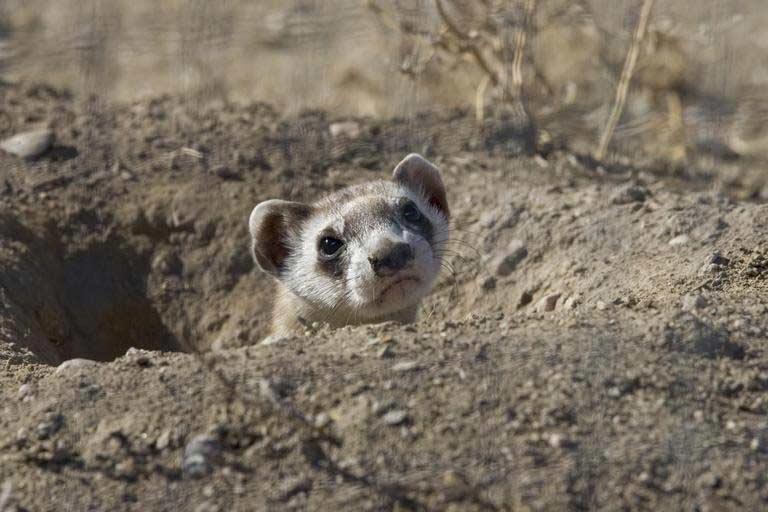 Burmese Ferret-Badger – Profile   Behavior   Traits   Facts   Range