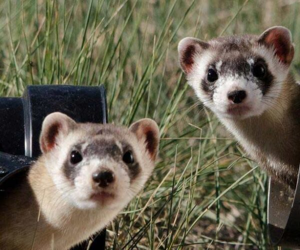 Chinese Ferret-Badger – Profile   Traits   Facts   Pet   Threats