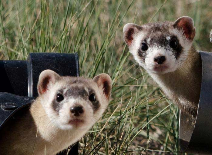 Chinese Ferret-Badger – Profile | Traits | Facts | Pet | Threats