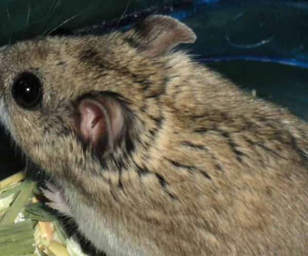 Chinese Striped Hamster – Profile | Traits | Facts | Pet | Diet | Habitat