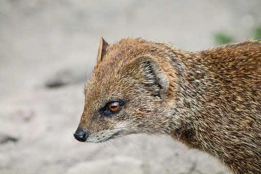 Collared Mongoose – Profile | Traits | Facts | Behavior | Range