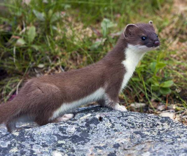 Colombian Weasel – Profile | Traits | Facts | Description