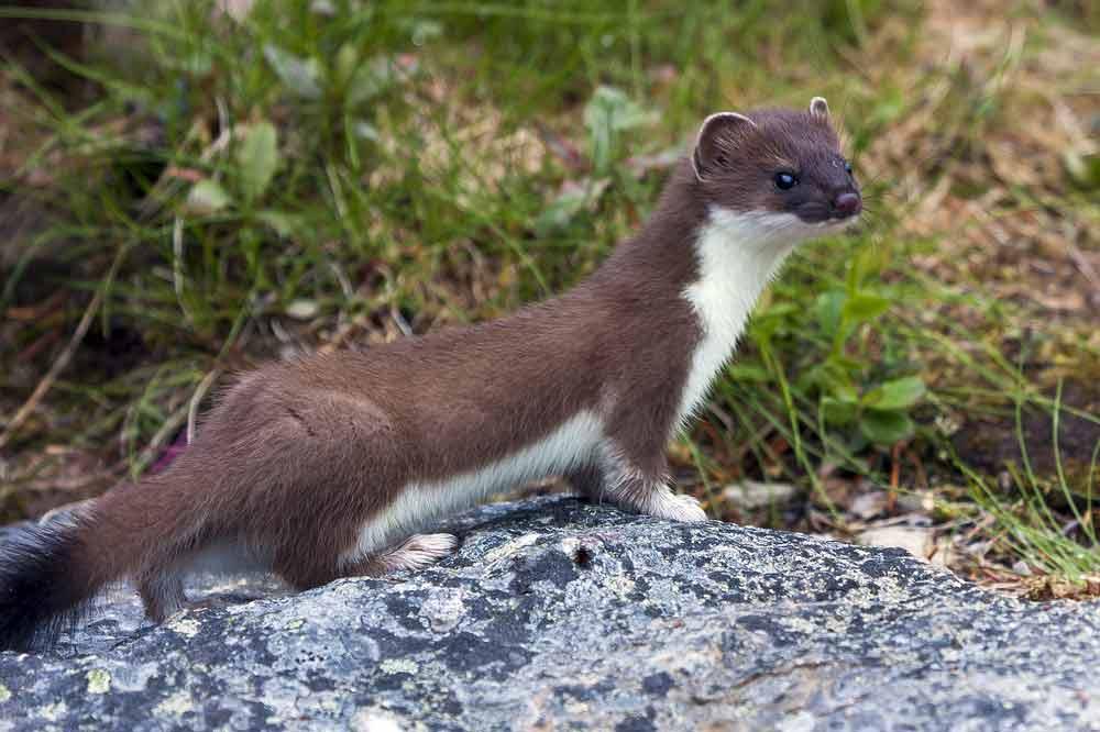 Colombian Weasel – Profile   Traits   Facts   Description