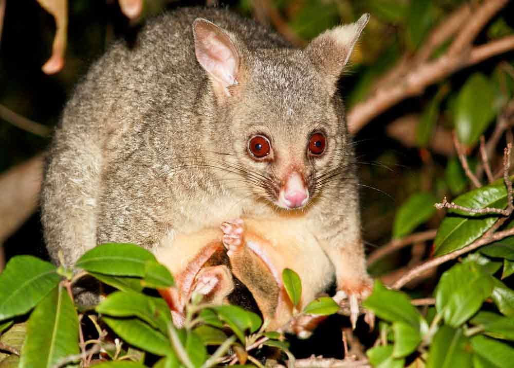 Common Brushtail Possum – Profile | Traits | Facts | Pouch | Diet