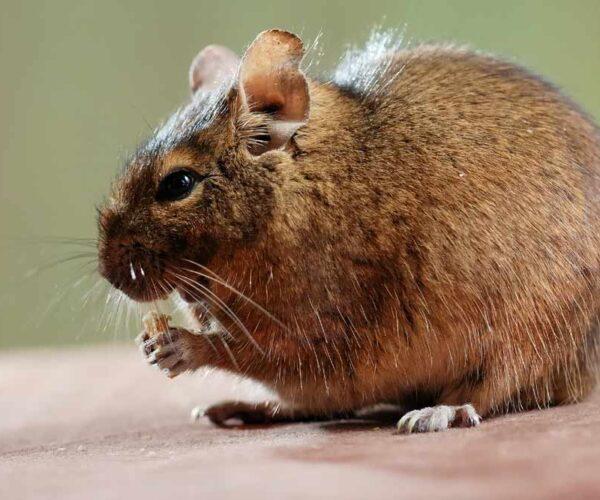 Common Degu – Profile | Traits | Facts | baby | Pet | Habitat | Diet