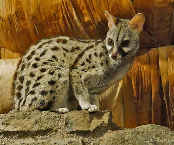 Common Genet – Animal   Profile   Traits   Facts   Pet   Diet   baby