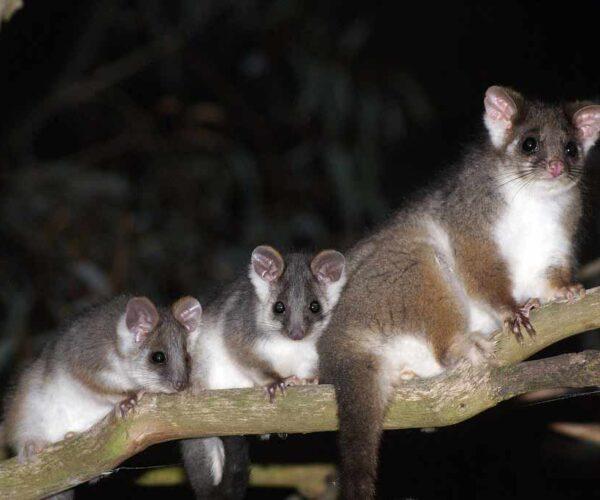 Common Ringtail Possum – Profile | Traits | Facts | Range