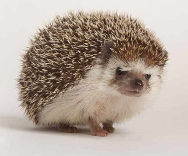 19 Different Types of Hedgehogs – Profile | Facts | Traits | Pet