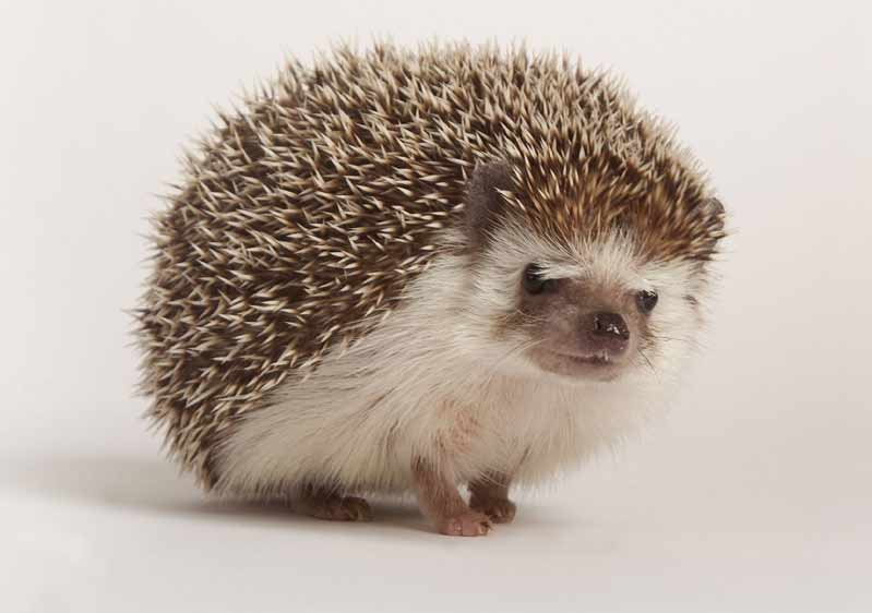 Daurian Hedgehog – Profile | Facts | Traits | Diet | Distribution