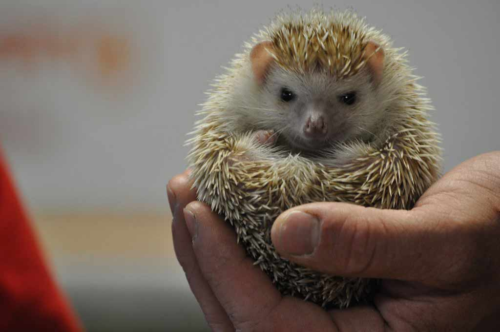 Desert Hedgehog – Profile   Facts   Traits   Habitat   Cute   Pet