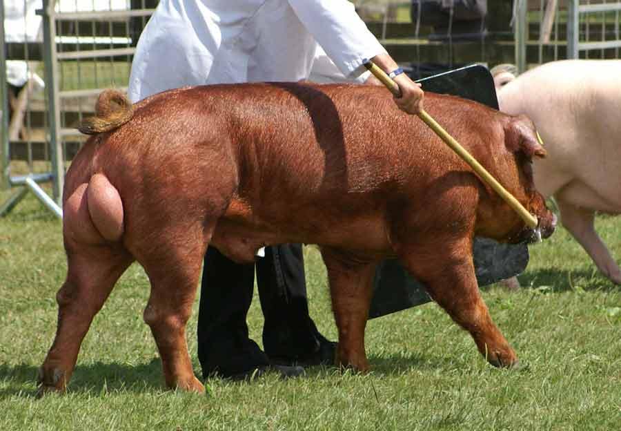Duroc Pig – Description | Profile | Traits | Facts | Breeds | Size