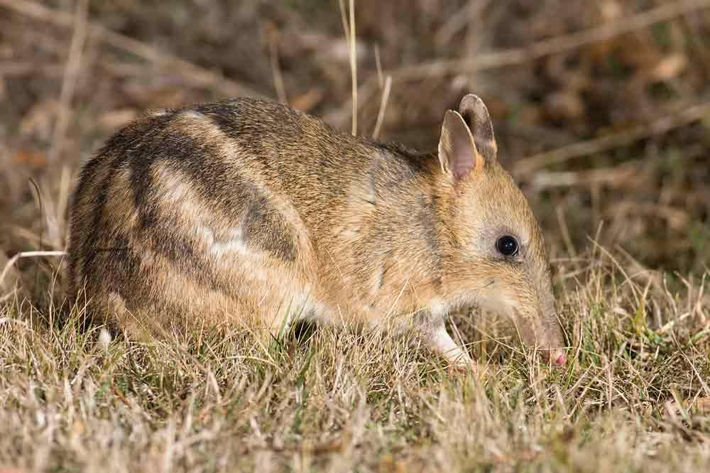 Eastern Barred Bandicoot – Animal | Profile | Traits | Facts | Habitat