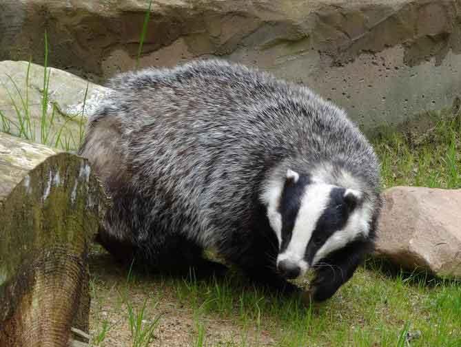 Eurasian Badger – European Badger  Profile | Traits | Facts
