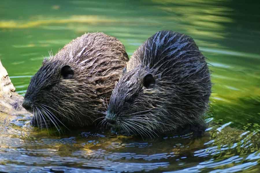 Eurasian Beaver – Profile | Traits | Facts | Food | Habitat | Teeth