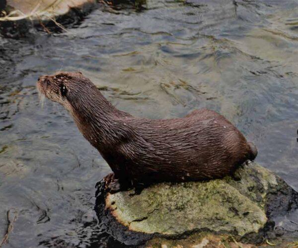 Eurasian Otter – Profile | Traits | Facts | Skull | Food | Feet | Face