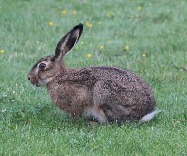 European Hare – Profile   Traits   Facts   Call   Skull   Face   Size