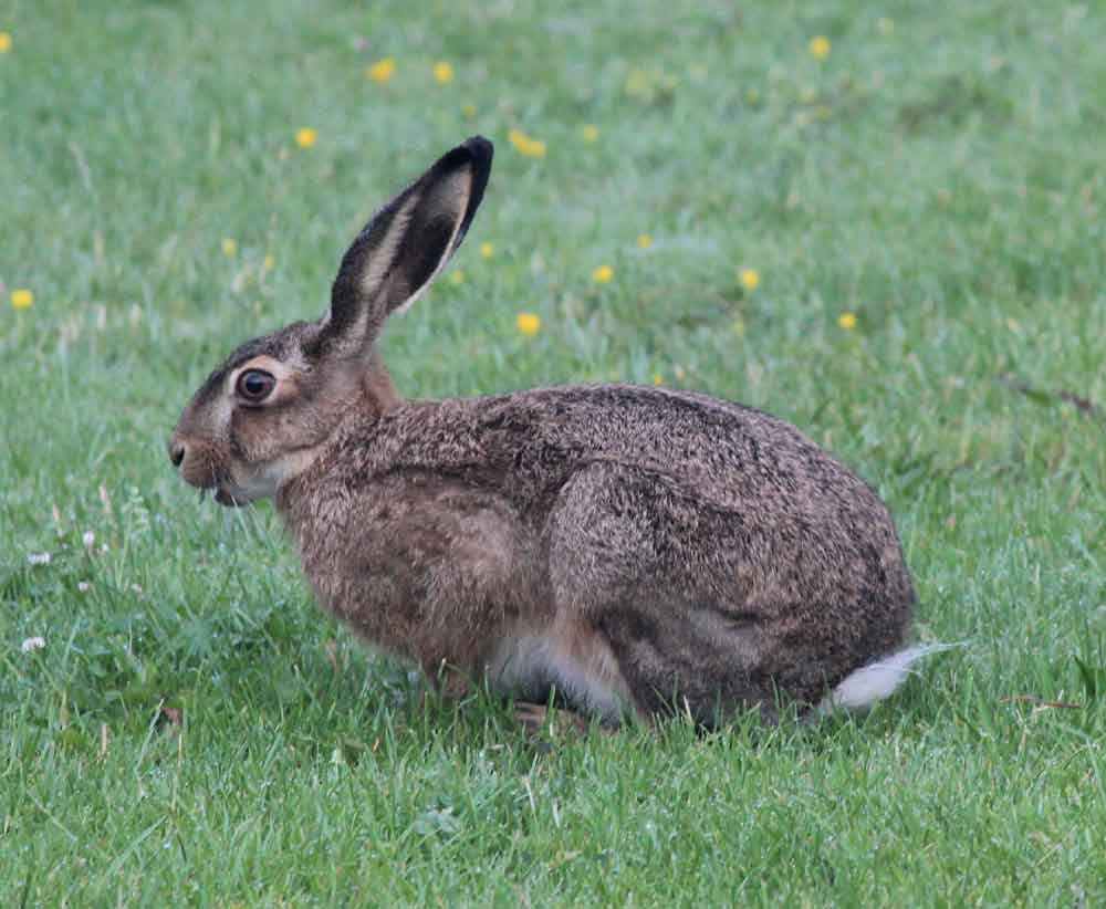European Hare – Profile | Traits | Facts | Call | Skull | Face | Size