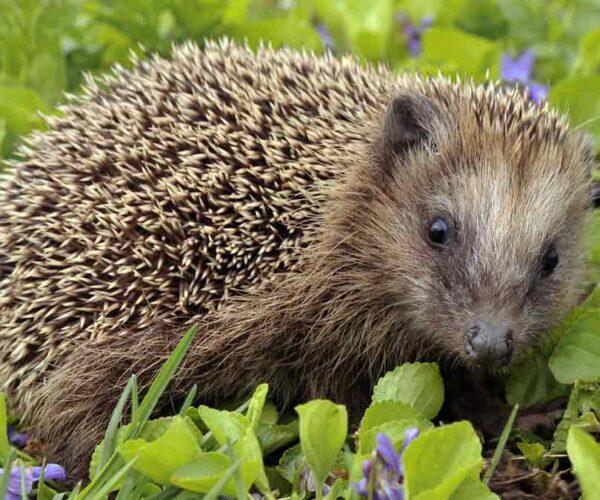European Hedgehog – Profile | Facts | Traits | Size | Pet | Habitat