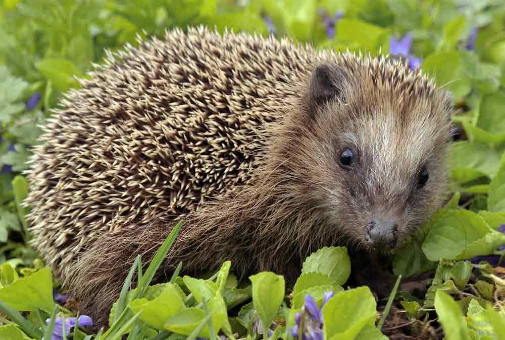 European Hedgehog – Profile   Facts   Traits   Size   Pet   Habitat