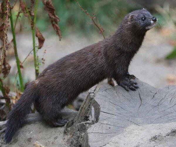 European Mink – Habitat | Profile | Traits | Facts | Skull | Teeth