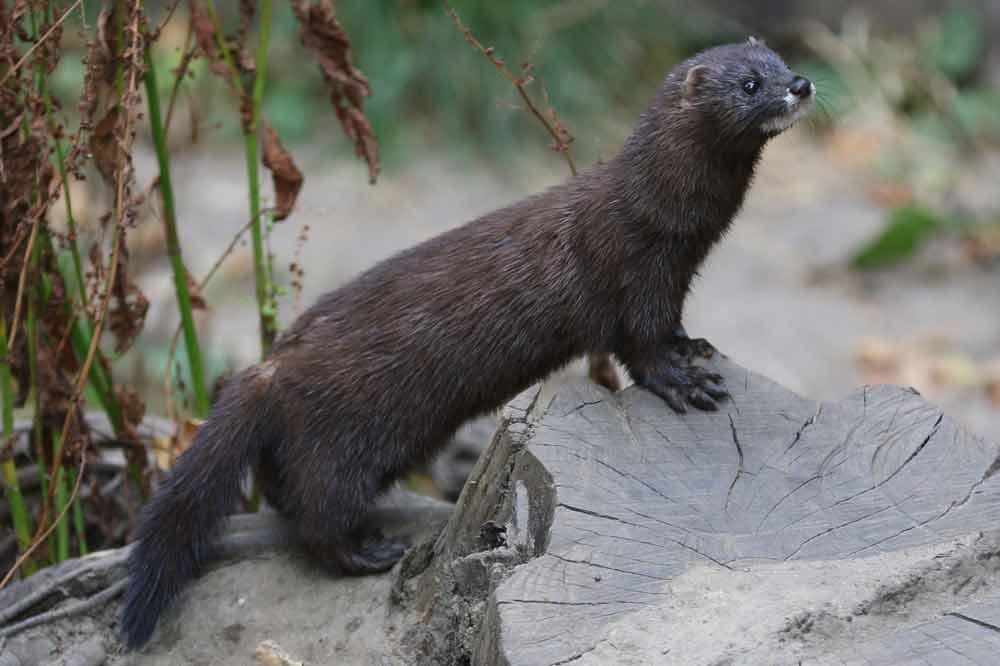 European Mink – Habitat   Profile   Traits   Facts   Skull   Teeth