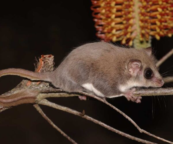 Feathertail Glider – Profile | Traits | Facts | Tail | Flying | Habitat