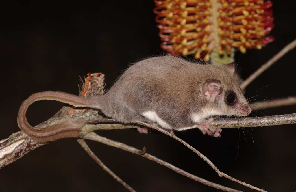 Feathertail Glider – Profile   Traits   Facts   Tail   Flying   Habitat
