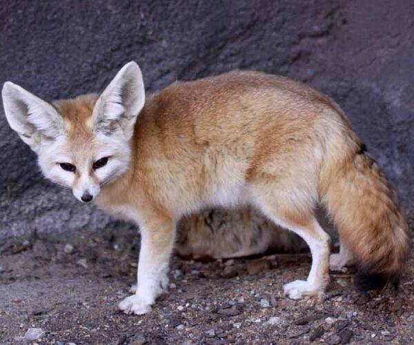Fennec Fox – Baby | Pet | Profile | Traits | Facts | Size
