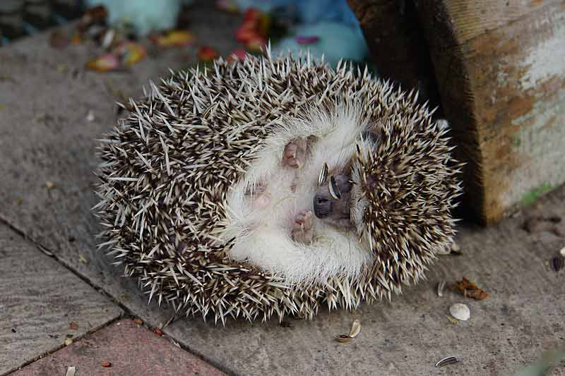 Four-Toed Hedgehog – Profile | Facts | Traits | Size | Cute | Baby