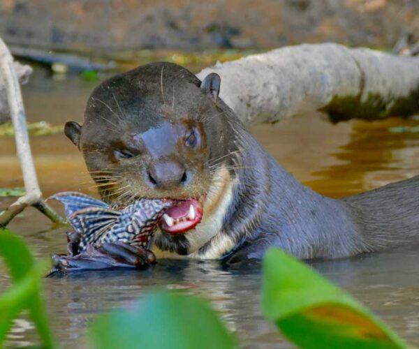 Giant Otter – Profile   Traits   Facts   Size   Animal   Shrew