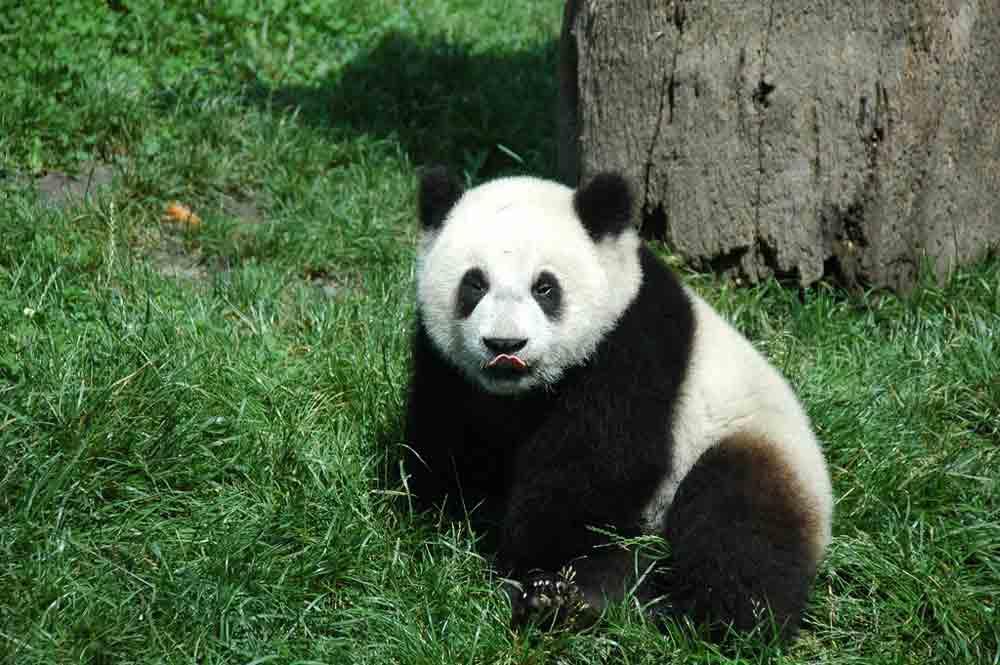 Giant Panda – Profile | Traits | Facts | Cute | Body | Zoo | Habitat