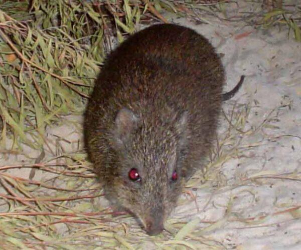 Gilbert's Potoroo – Profile | Traits | Facts | habitat | Population
