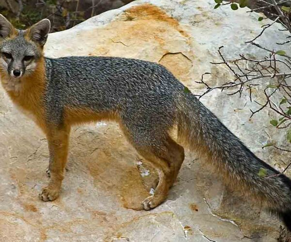 Gray Fox – Profile | Traits | Facts | Skull | Fur | Tracks | Habitat
