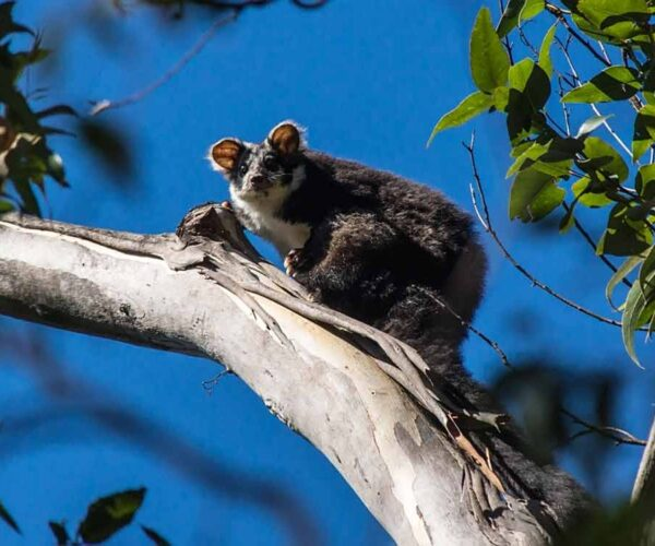 Greater Glider Possum – Profile | Traits | Facts | Size | Baby