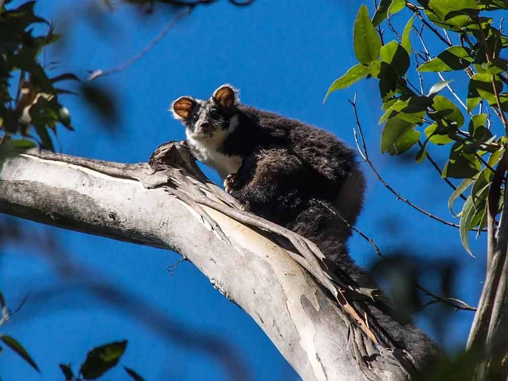 Greater Glider Possum – Profile   Traits   Facts   Size   Baby