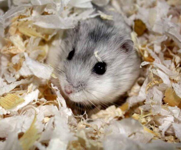 Grey Dwarf Hamster – Profile | Facts | Traits | Cute | Baby | Lifespan