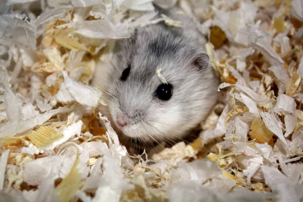 Grey Dwarf Hamster – Profile   Facts   Traits   Cute   Baby   Lifespan