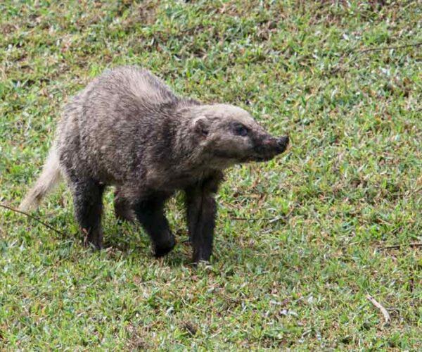 Hog Badger – Animal   Profile   Traits   Facts   Skull   Baby   Wolverine
