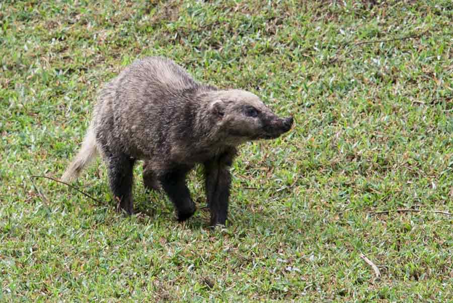 Hog Badger – Animal | Profile | Traits | Facts | Skull | Baby | Wolverine