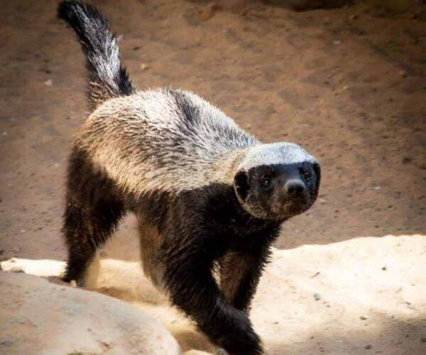 Honey Badger – Animal | Profile | Traits | Facts | Attack