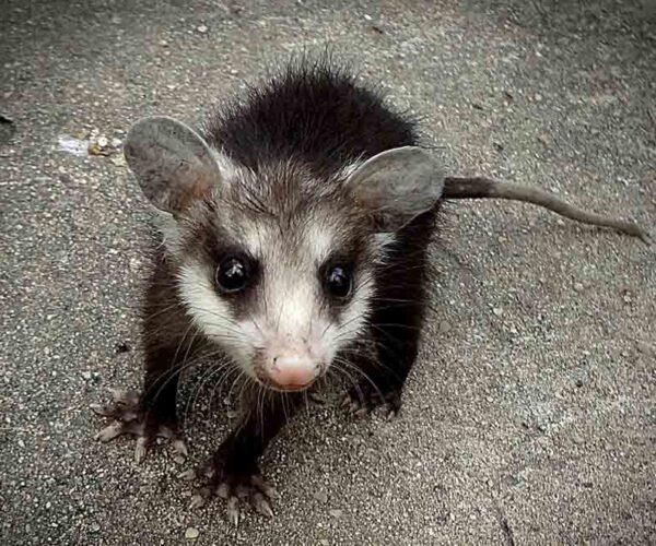 Honey Possum – Profile | Traits | Facts | Tongue | Habitat | Pouch