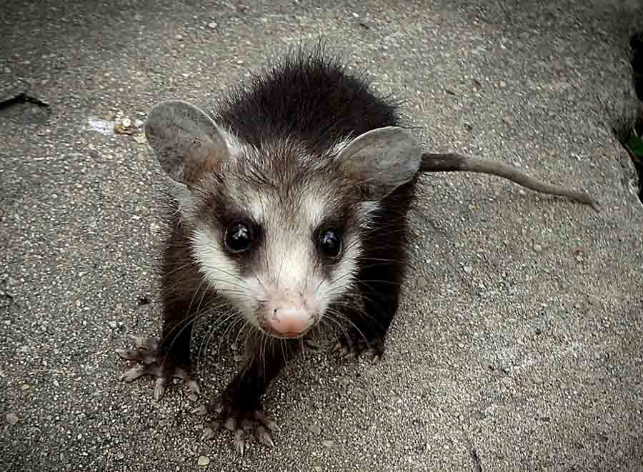 Honey Possum – Profile   Traits   Facts   Tongue   Habitat   Pouch