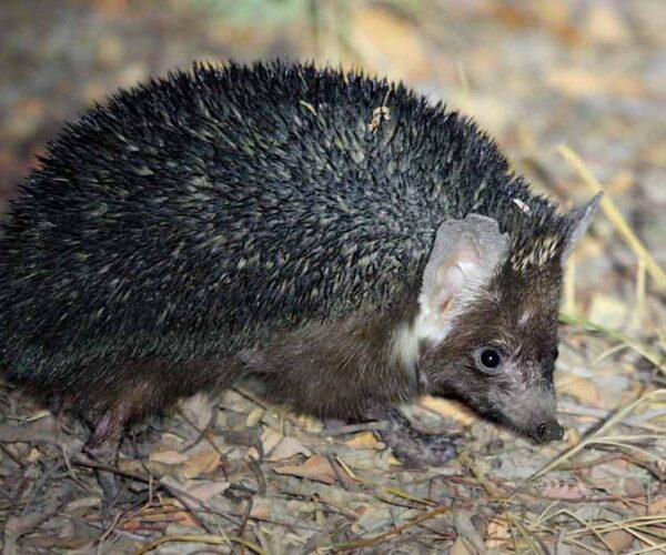 Indian Hedgehog – Animal | Profile | Facts | Traits | Protein | Habitat