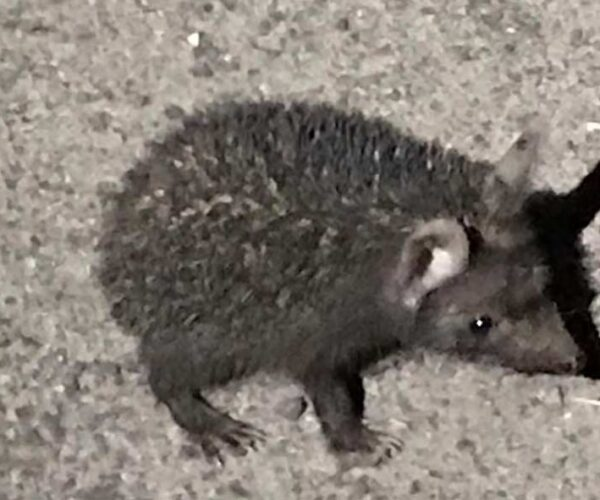 Indian long-Eared Hedgehog – Profile | Facts | Traits | Diet | Habitat