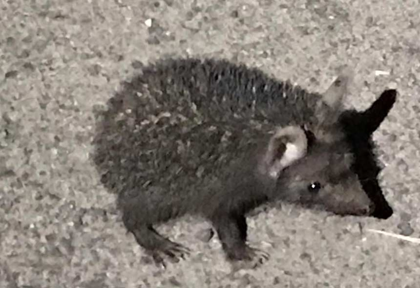 Indian long-Eared Hedgehog – Profile   Facts   Traits   Diet   Habitat