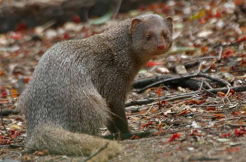 Indian Mongoose – Profile | Animal | Habitat | Traits | Distribution
