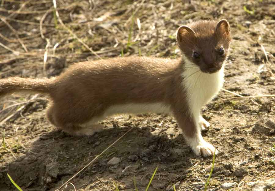 Indonesian Mountain Weasel – Profile | Traits | Facts | Diet